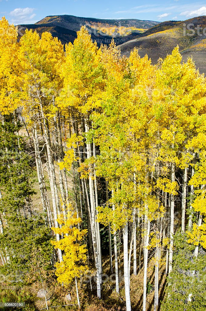 Overhead View of Golden Aspens at Peak Color stock photo