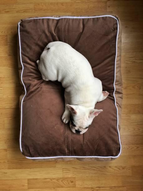 draufsicht pied französische bulldogge welpen schlafen auf bequeme hundebett - katzen kissen stock-fotos und bilder