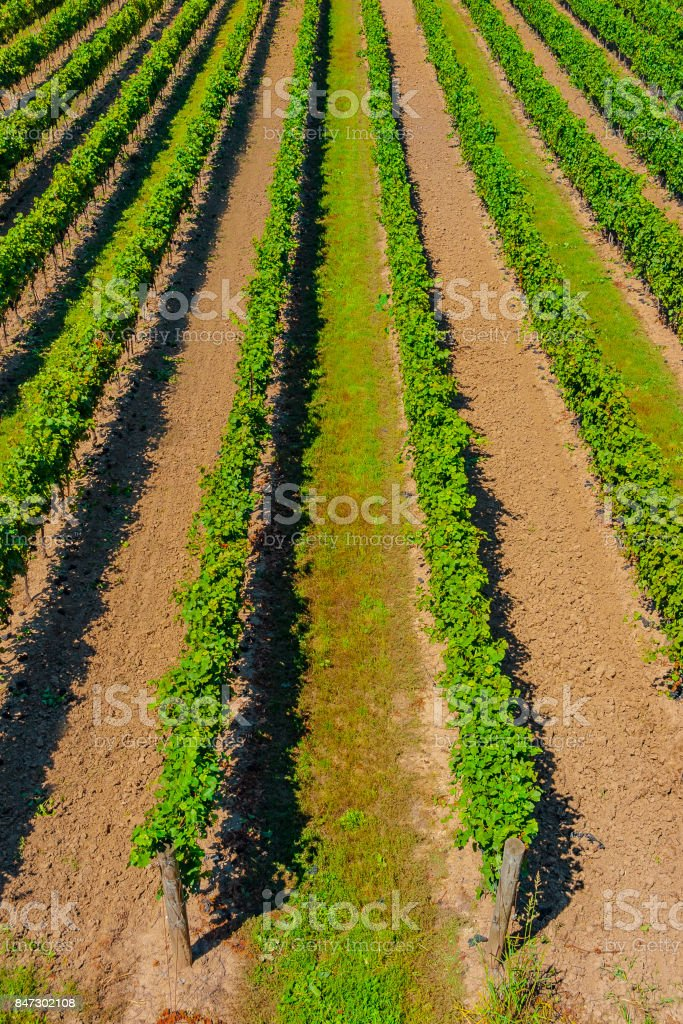 Overhead View of Rows of Grape Vines in a Vineyard - foto stock