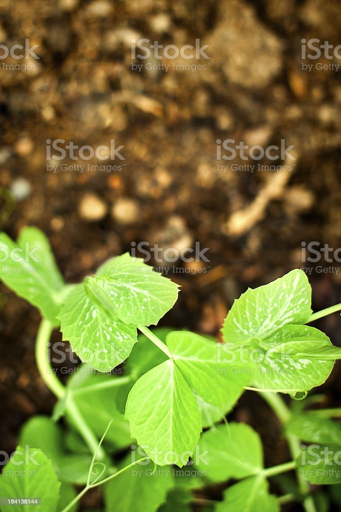 Overhead View of Snap Pea Plant and Dirt stock photo