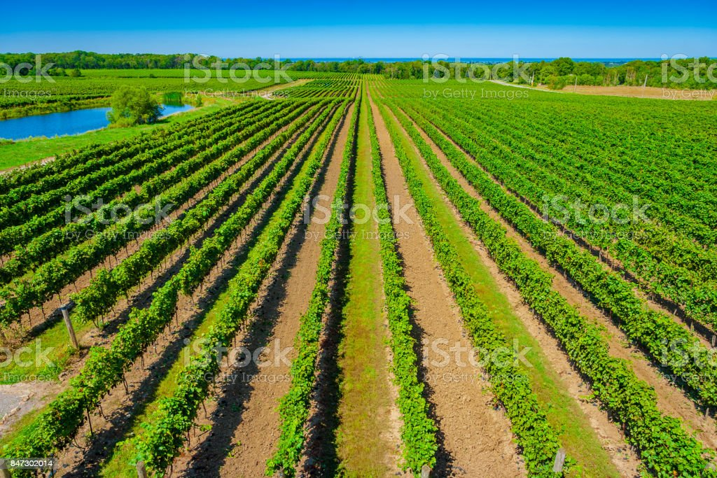 Overhead View of Vineyard with Lake Ontario in Background - foto stock