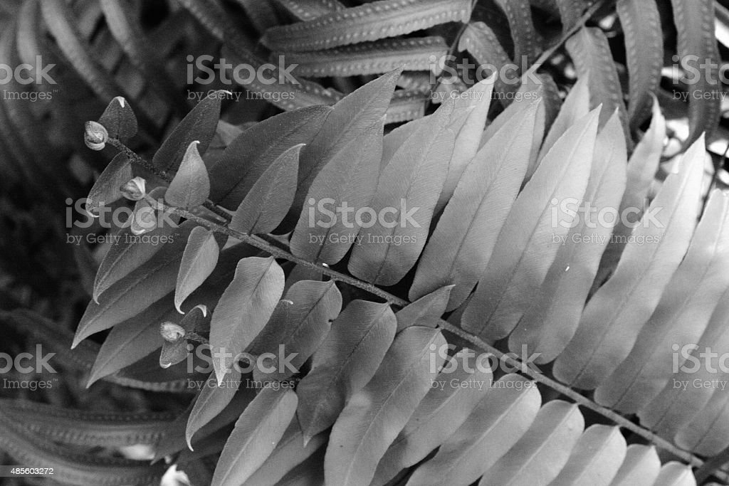 Overlapping fern leaves in black and white stock photo