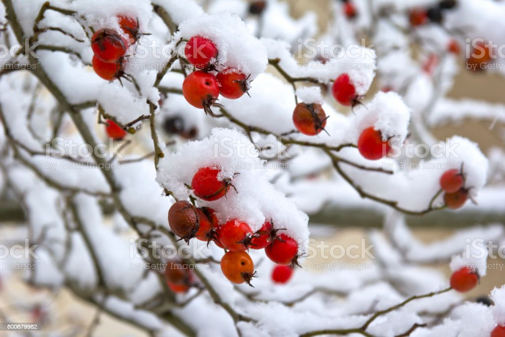 Overlooking a rosehip bush in winter – Foto