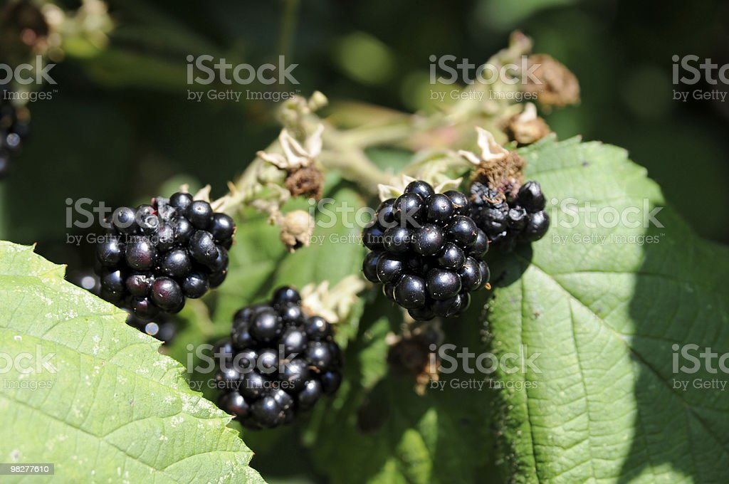 overripe blackberries royalty-free stock photo