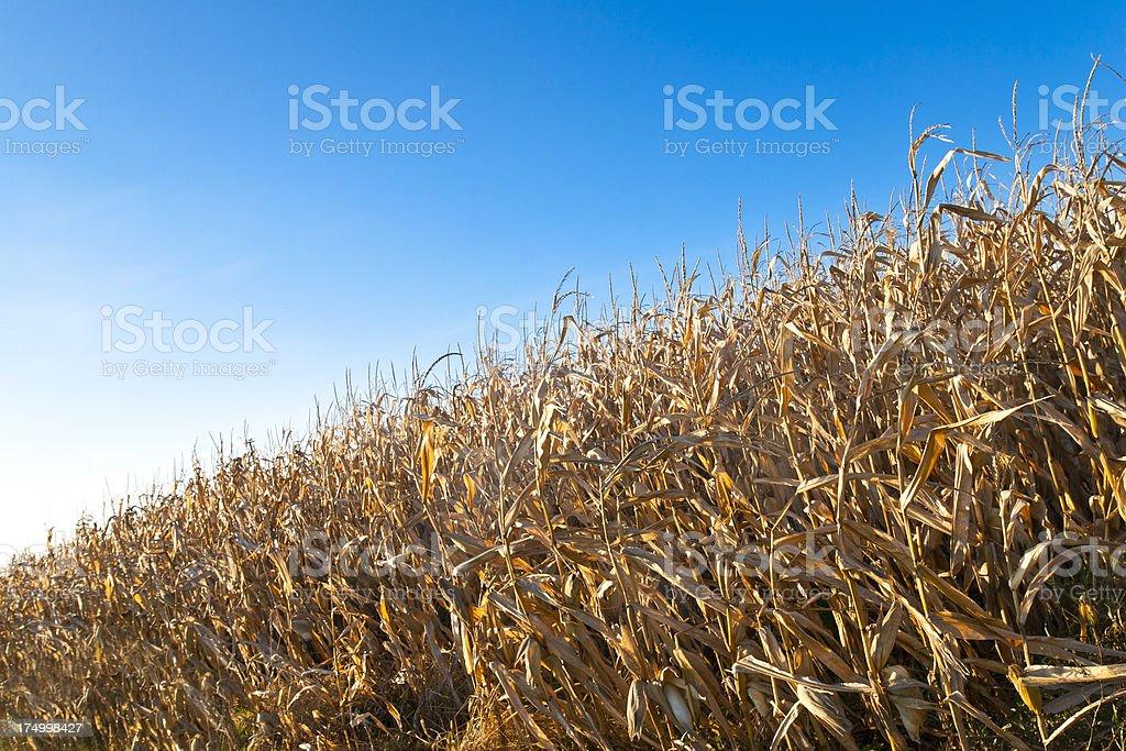 Overripe Corn Field stock photo