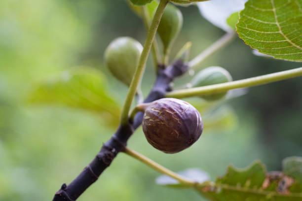 Overripe Fig on a Tree stock photo
