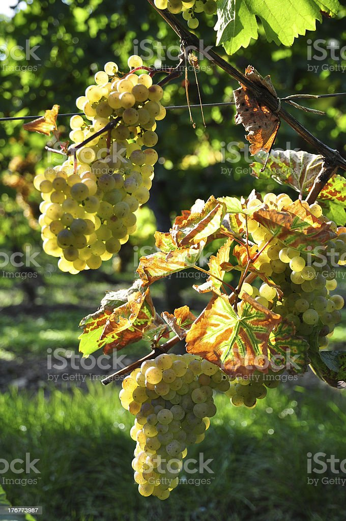 Overripe grapes on old vines royalty-free stock photo