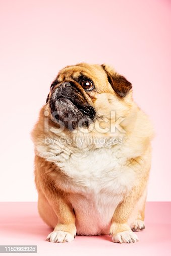 Portrait of an overweight Pug crossed with a Pekingese posing against a pale pink background. Colour, horizontal format with some copy space.