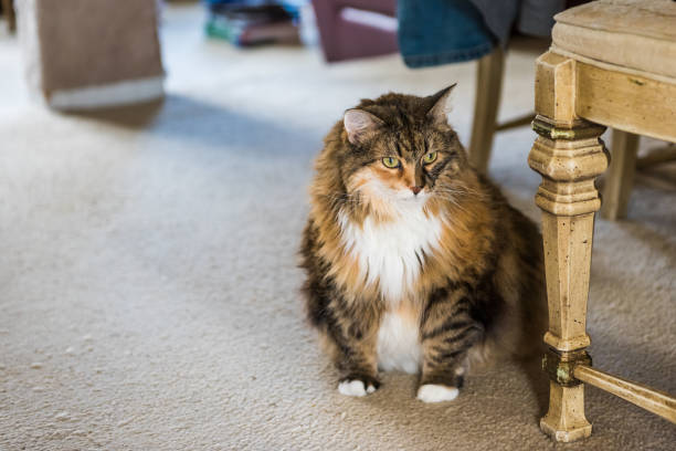 Overweight maine coon cat with belly sitting looking on carpet by picture id824132962?b=1&k=6&m=824132962&s=612x612&w=0&h=0jofopmglzctyee8ooubj32lfrel lvy5axeq0tb8ss=