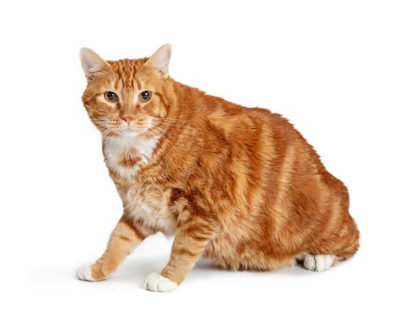 Overweight orange tabby cat sitting side picture id1127456685?b=1&k=6&m=1127456685&s=612x612&w=0&h=dh7qemnrwmzv6v5jdql8e0dylt1lbu1xvjhf2pqoouu=