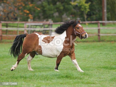 A small but overweight pony runs through a grass paddock.