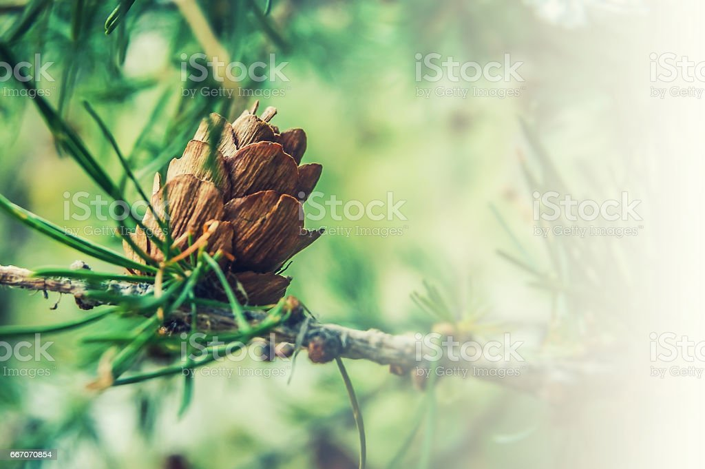Ovulate coneof larch tree stock photo