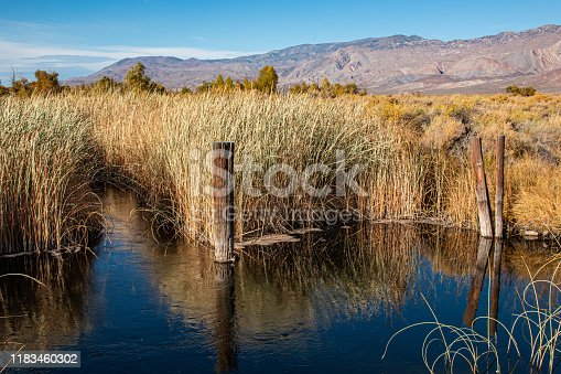 Reeds growing along the Owens River in California.
