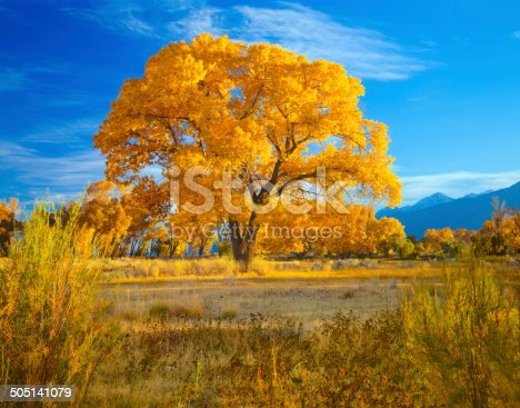 Late Afternoon Light Lights Up The Autumn Foliage Of A Majestic Cottonwood Tree In The Owens Valley Near Bishop California