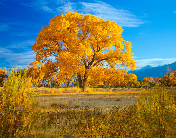Owens Valley's fall Cottonwood Trees in California(P) Late Afternoon Light Lights Up The Autumn Foliage Of A Majestic Cottonwood Tree In The Owens Valley Near Bishop California cottonwood tree stock pictures, royalty-free photos & images