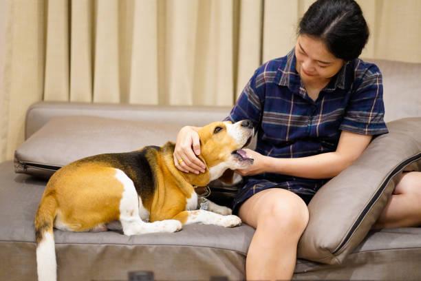 ower och beagle hund sitter på soffan hemma. ägare röra hans huvud lekfull och njuta av tid med husdjur hemma. - emotionellt stöd bildbanksfoton och bilder