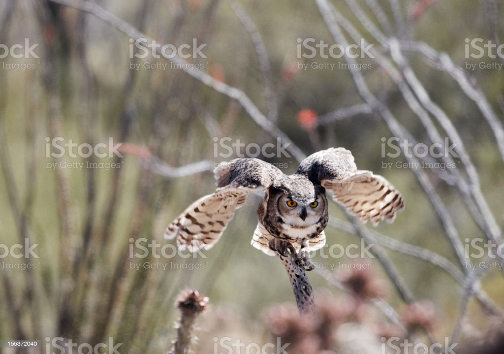 Owl about to take flight royalty-free stock photo