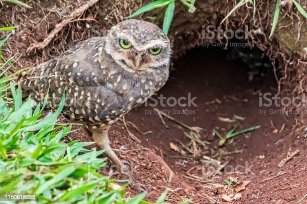 Owl athene cunicularia at nest entrance picture id1150615258?b=1&k=6&m=1150615258&s=612x612&h=ixuj018auihljnwxpbqhsxoznpoyylzh72cz09ccydo=