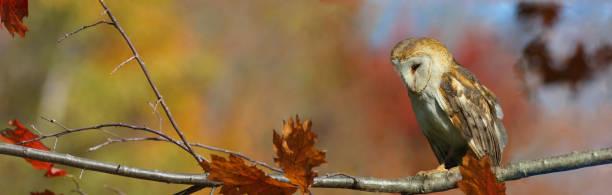 Owl barn in nature during fall picture id1182535612?b=1&k=6&m=1182535612&s=612x612&w=0&h=wnrcsquttpgsme2fr5ttpt098ru5wabgdaycin1q2j8=