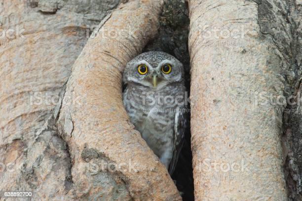 Owl bird in tree hollow picture id638892700?b=1&k=6&m=638892700&s=612x612&h=uasfujowdt0kjocv0hbjmeqdrbp0fnsp6nuwegofl3o=