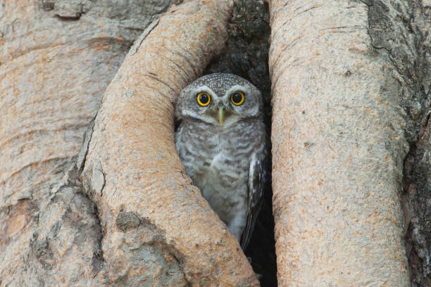 Owl bird in tree hollow picture id638892700?b=1&k=6&m=638892700&s=612x612&w=0&h=ok2s63grwrbtwqnmrvjmzrg7prtqwuezjc  5xwjudk=