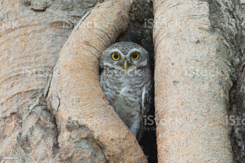 Owl bird in tree hollow stock photo