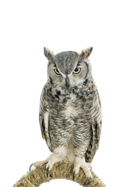 Owl bird isolated on white background front view of long ear owl bird picture id1203208155?b=1&k=6&m=1203208155&s=612x612&w=0&h=gbhmjpqsn03w rcvgxyoquaanbbknh vxtq1b18nhre=