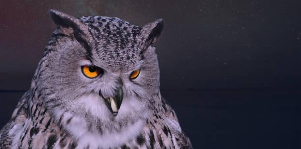 Owl bird of prey portrait stock photo