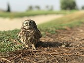 Common owl breeding on the ground, after falling from the tree