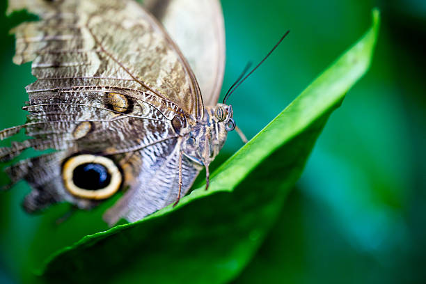 Owl Butterfly Caligo martia stock photo