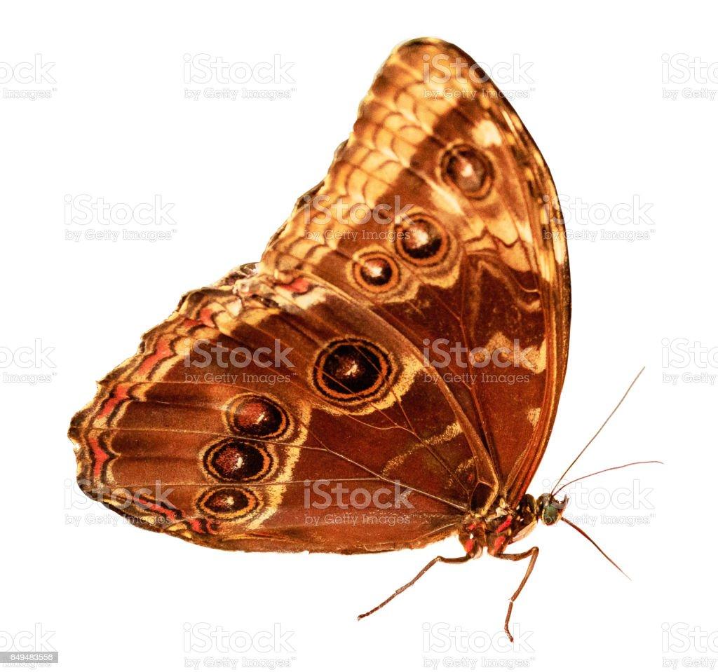 Owl Butterfly (Caligo) Isolated on White stock photo