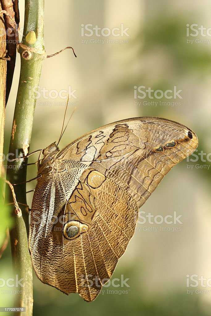 owl butterfly royalty-free stock photo
