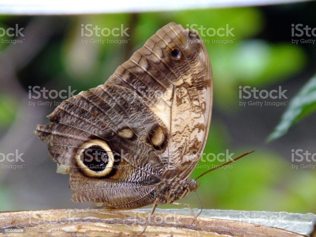 Owl Butterfly (Caligo memnon) - Royalty-free Animal Antenna Stock Photo
