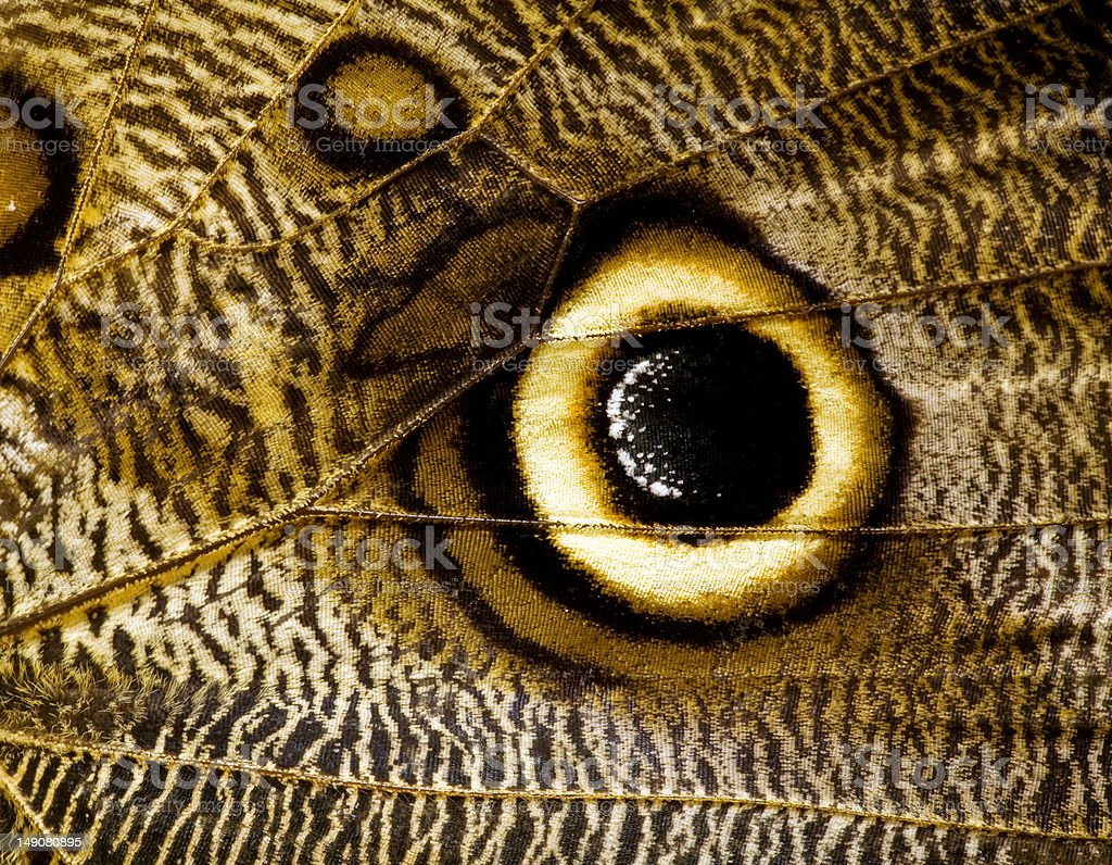 owl butterfly wing macro royalty-free stock photo
