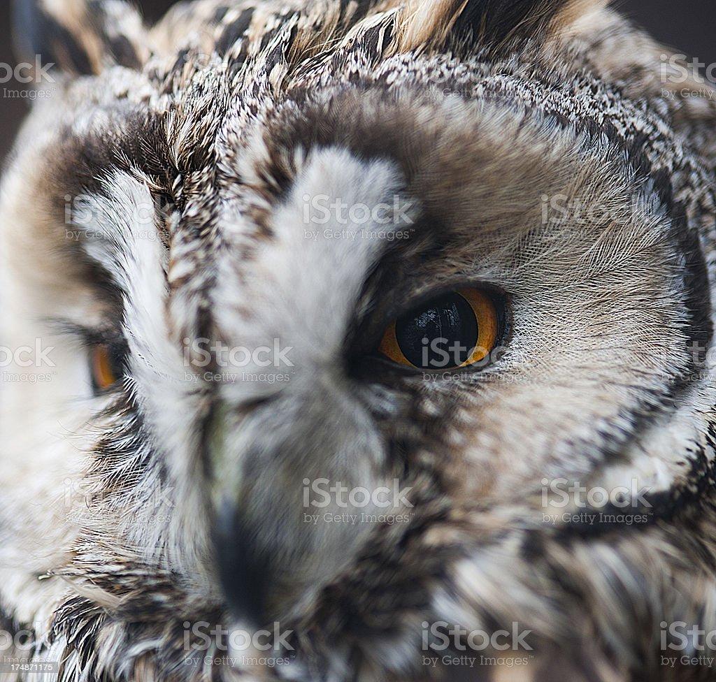 Owl close up royalty-free stock photo