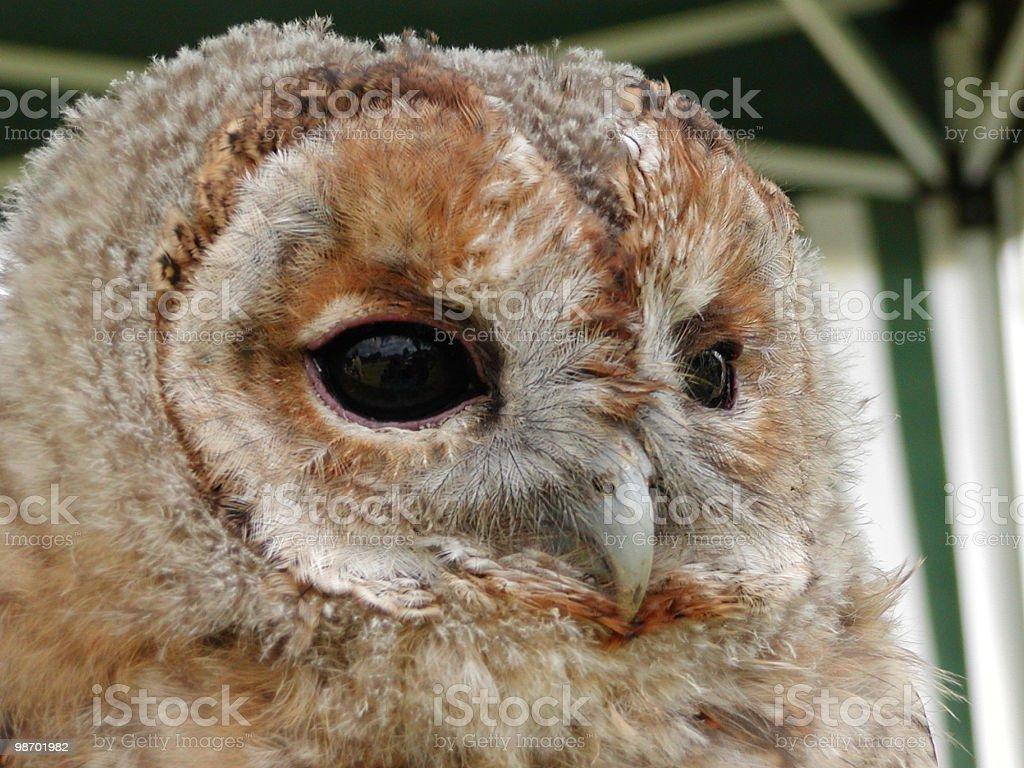 Owl Closeup royalty-free stock photo