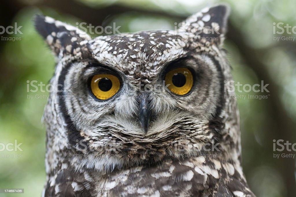 owl eyes royalty-free stock photo