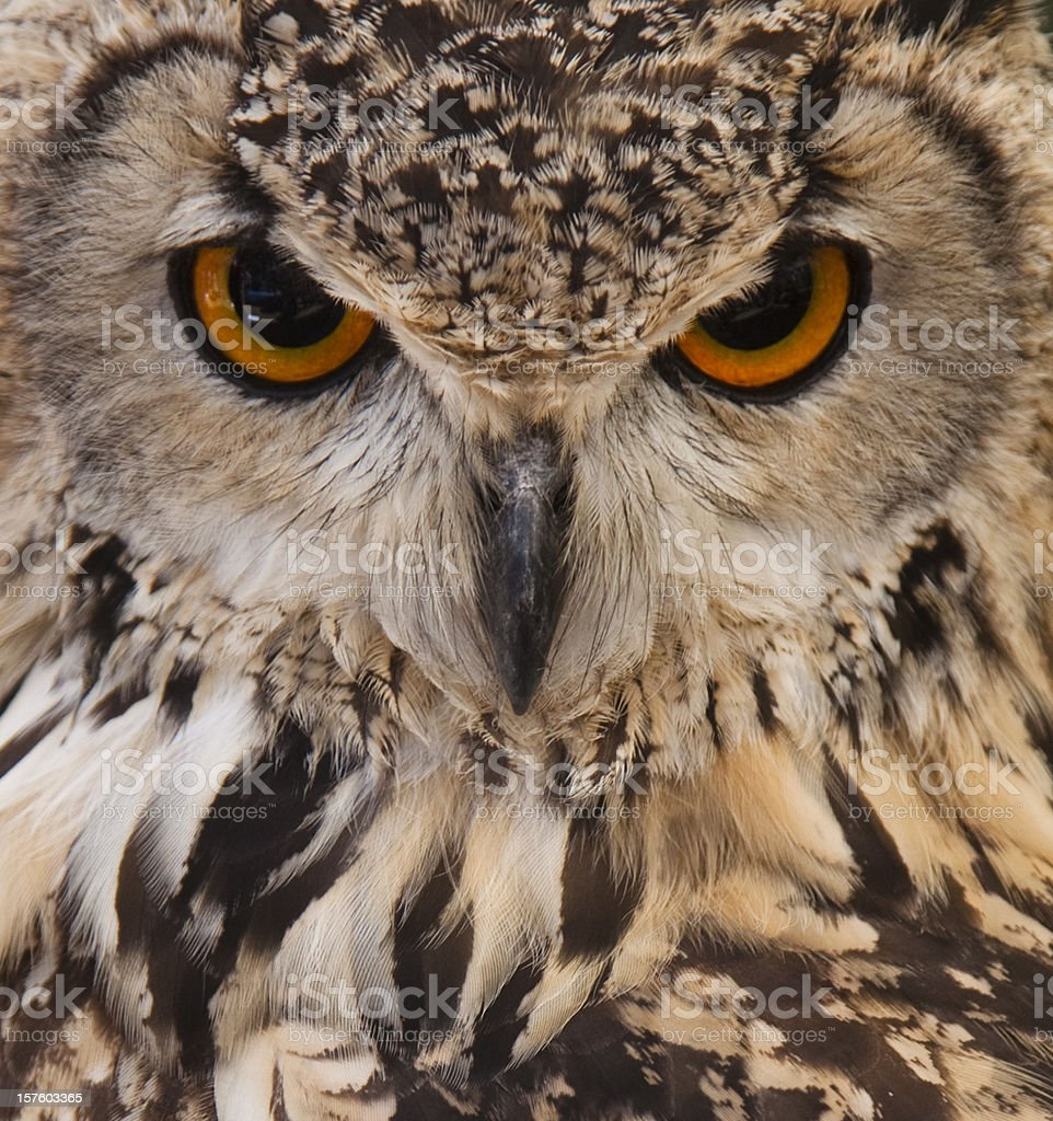 Owl face closeup. stock photo