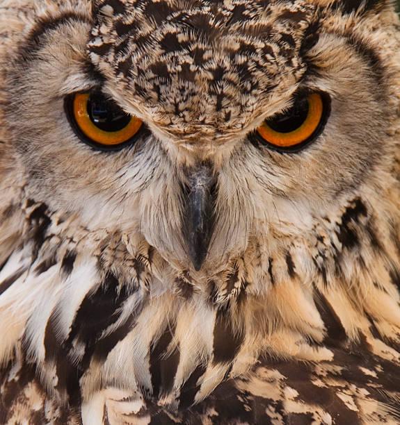 Best Owl Face Stock Ph...