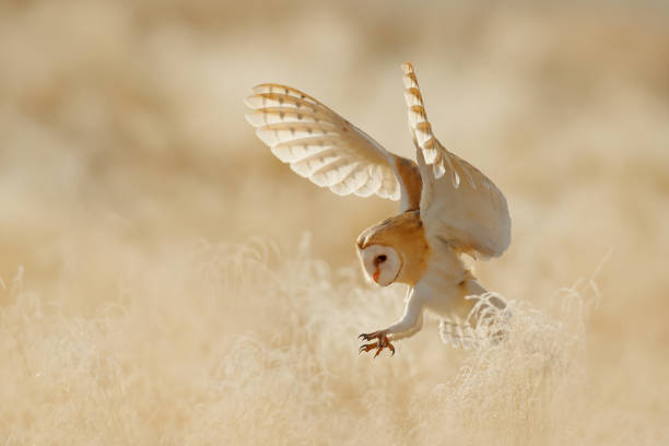 Owl fly with open wings. Barn Owl, Tyto alba, sitting on the rime white grass in the morning. Wildlife bird scene from nature. Cold morning sunrise, animal in the habitat. stock photo