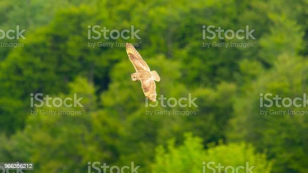 Owl flying picture id966356212?b=1&k=6&m=966356212&s=612x612&h=qdogpjs jrq imnit9scdaaodgkwuhs3wpmg8zvprdw=