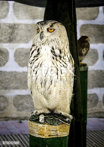Owl in falconry, wild animals and nature