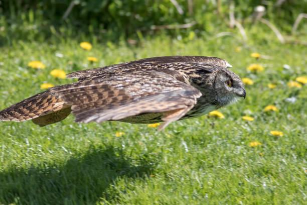 Owl in flight hunting close to ground bird of prey flying picture id1087797292?b=1&k=6&m=1087797292&s=612x612&w=0&h=ar9s8lrgrsjs4zgrt2f bnpkpne82zisjhp z03tkb4=