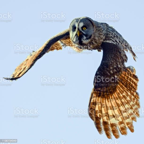 Owl in flight picture id1130734343?b=1&k=6&m=1130734343&s=612x612&h=h0masdkpntozwdg241xgkwj2axug4maw78gvsr6akxg=