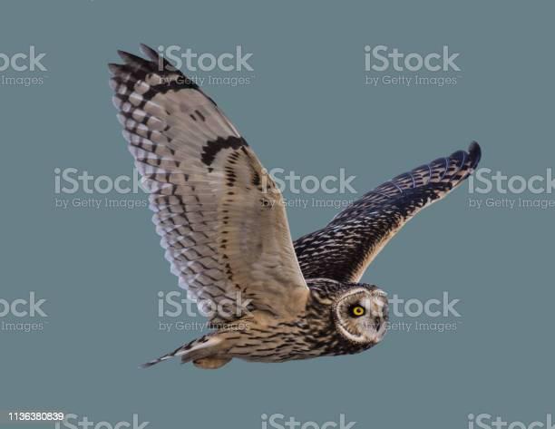 Owl in flight picture id1136380839?b=1&k=6&m=1136380839&s=612x612&h=gespmbpbqnlkaqopi9aqbwixq9rfff usynaipoheh0=