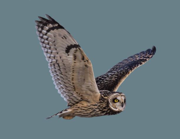 Owl in flight picture id1136380839?b=1&k=6&m=1136380839&s=612x612&w=0&h=6t1girhrdnxwrvmduqtacl9ua2oin zjonmtrbthv0y=