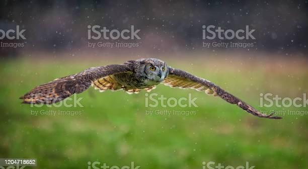 Owl in flight picture id1204718652?b=1&k=6&m=1204718652&s=612x612&h=u8zfkzwjbmutqzbb ps8xxfx3qc3yy95202iescullo=