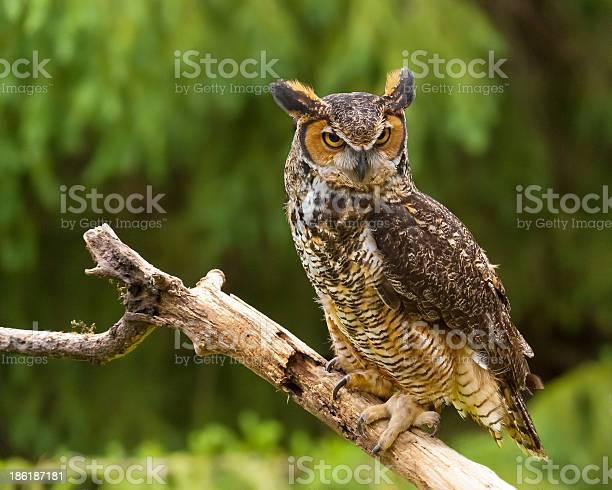 Owl in nature picture id186187181?b=1&k=6&m=186187181&s=612x612&h=zd7c7zm6wvj yzyrsdratyx8iwcrvdsalkep7wjjwgi=