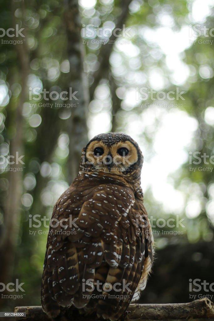Owl in pose stock photo
