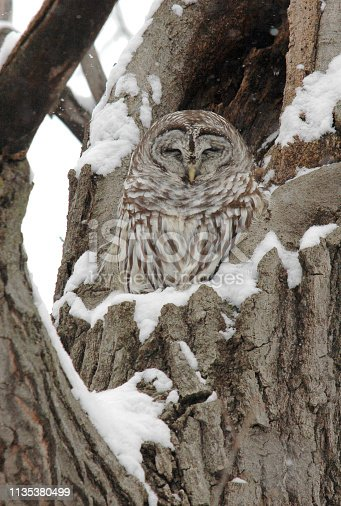 A Barred Owl roosts in a tree cavity in winter. Barred Owls are year-round residents in Minnesota, where this owl was found.